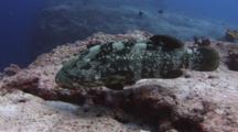 Malabar Grouper, Epinephelus Malabaricus, Swims Over Rocky Reef
