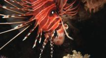 Spotfin Lionfish, Pterois Antennata, Upside Down On Coral Reef. Close-Up Of Head
