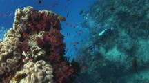 Scuba Diver Beneath Outcrop Covered With Dendropnephthya Soft Coral And Mushroom Leather Coral, Sarcophyton Trocheliophorum