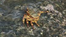 Sally Lightfoot Crab, Grapsus Albolineatus, Washed By Waves On Rock