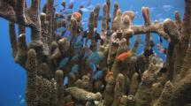 Blue-Green Chromis, Chromis Viridis, And Other Tropical Fish Shelter In Column Staghorn Coral, Acropora Palifera