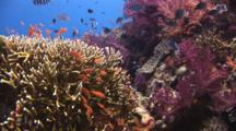 Colorful Coral Reef With Fire Coral, Millepora Tenera, And Purple Dendronephthya Soft Corals (Carnation Coral)
