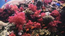 Coral Reef With Red Dendronephthya Soft Corals (Carnation Coral)