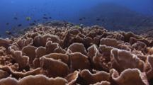 Reef Of Montipora Coral, Montipora Sp. With Chromis And Butterflyfish