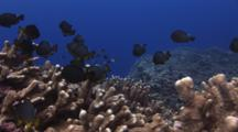 Domino Damsels (Threespot Dascyllus), Dascyllus Trimaculatus, Over Column Staghorn Coral, Acropora Palifera