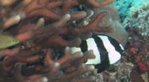 Humbug Dascyllus, Dascyllus Aruanus, Hiding In Hard Coral
