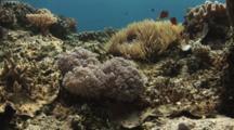 Pom Pom Xenia (Pulse Coral), Xenia Sp., On Coral Reef With Fiji Barberi Clownfish, Amphiprion Barberi