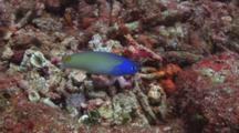 Starck's Tilefish (Bluehead Tilefish), Hoplolatilus Starcki, Dives Into Burrow In Dead Coral Rubble