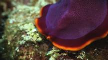 Fuchsia Flatworm, Pseudobiceros Ferrugineus. Close Up Showing Pseudo-Tentacles