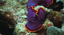 Pair Of Fuchsia Flatworms, Pseudobiceros Ferrugineus, Preparing To Mate