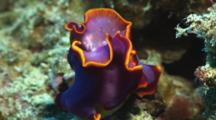 Pair Of Fuchsia Flatworms, Pseudobiceros Ferrugineus, Mating