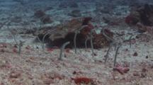 Whitespotted Garden Eels, Gorgasia Maculata, Poking Out Of Their Burrows In Seabed