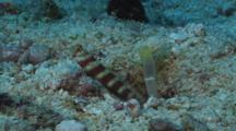 Gorgeous Prawn-Goby, Amblyeleotris Wheeleri, Guards While Snapping Shrimp, Alpheus Sp., Digs Burrow. Part 1