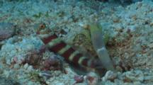 Gorgeous Prawn-Goby, Amblyeleotris Wheeleri, Guards While Snapping Shrimp, Alpheus Sp., Digs Burrow