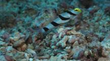 Yellownose Prawn-Goby, Stonogobiops Xanthorhinica, Guards While Randall's Pistol Shrimp, Alpheus Randalli, Builds Burrow