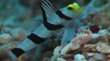 Yellownose Prawn-Goby, Stonogobiops Xanthorhinica, Guards Burrow. Raises Dorsal Fin