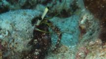 Hairy Red Hermit Crab, Dardanus Lagopodes, Shaking Antennae