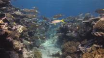 School Of Striped Large-Eye Bream, Gnathodentex Aureolineatus, With Yellowfin Goatfish, Mulloidichthys Vanicolensis, Over Coral Reef