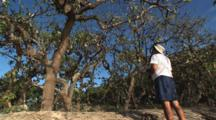 Man Watches Black Noddy Birds, Anous Minutus, Nesting In Trees