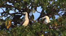 Pair Of Red-Footed Boobies, Sula Sula, Sitting In Tree