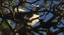 Red-Footed Booby Chick, Sula Sula, In Tree With Black Noddy, Anous Minutus