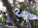 Great Blue Heron Walking Along Shore