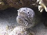 Spotted Moray Look Into Camera Lens