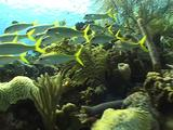 School Of Yellow Snapper Swim Past