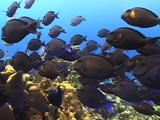 Swimming Scholl Of Surgeonfish