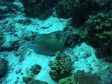 Sting Ray Swims Past Camera
