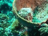 Scorpion Fish Resting In Sponge