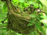 Japanese White-Eye (Zosterops Japonicus) Feeds Nestling.
