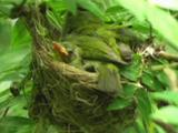 Japanese White-Eye (Zosterops Japonicus) Sits With Nestlings.