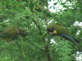 Burrowing Parrot (Cyanoliseus Patagonus Bloxami) Eating Mesquite (Prosopis)