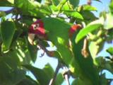 Red-Masked Parakeet Feeds In Tree