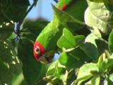 Red-Masked Parakeet Foraging