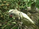 Salmon-Crested Cockatoo (Cacatua Moluccensis) Eating Palm Fruit