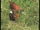 Wild Chestnut Munia, Lonchura Atricapilla, Eating Grass