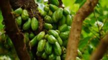 Bilimbi Fruit, Averroha Bilimbi