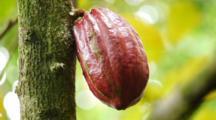 Cacao Pod, Cocoa, Theobroma Cacao