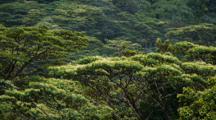 Tropical Rain Forest, Moluccan Albizia