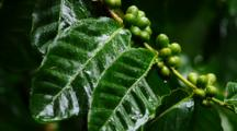 Green Coffee Beans On The Bush