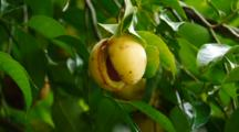 Nutmeg Fruit On The Tree