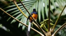 White-Rumped Shama Bird Displays And Sings