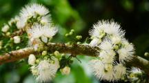 White Wax Jambu Fruit Flowers With Honeybee