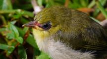 Fledgling Japanese White-Eye