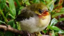 Cute, Fluffy, Fledgling Japanese White-Eye Bird Close Up