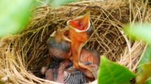 Baby Bulbul Birds Sleeping And Begging In Nest