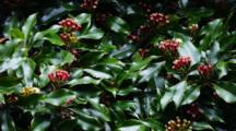 Clove, Syzygium Aromaticum, Buds On A Clove Spice Tree