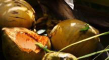Green Gekkos On Coconuts